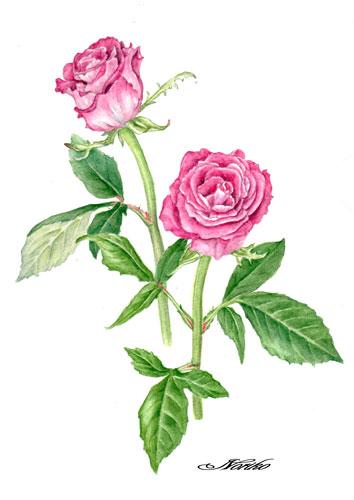 Botanical art, Watercolors. Rose