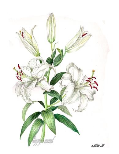 カサブランカ (植物)の画像 p1_34